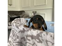 Beautiful sausage dogs for sale 1 boy two girls the original sausage colour Black and Tan