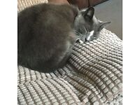 Gray and white small cat missing