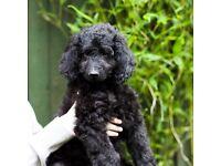 Quick SALE Standard Goldendoodle puppies Silver/Black