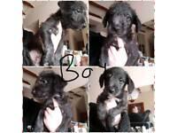Beddlington whippets pups