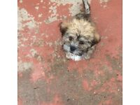Shih tzu x French lowchen 1 boy left