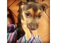 Black & Tan X puppies (Small dogs) for sale