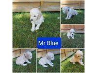 Beautiful F1B Cavapoo puppies for sale