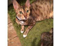 Full Bengal male kitten for sale