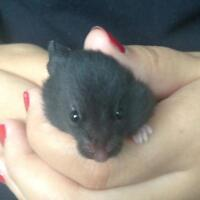 10 Adorable Baby Hamsters for Sale!