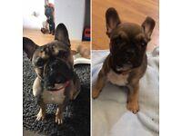 2 year old Male French Bulldog