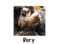 Pomchi puppies for sale two left