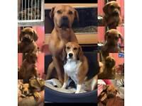 Beagle cross mastiff puppies ready to go