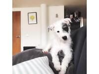 Jackapoo 6month old puppy for sale
