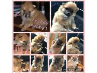 Gorgeous Pomeranian puppies for sale £650:00