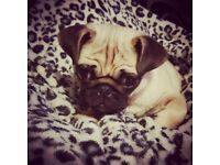 Beautiful stunning boy pug puppy