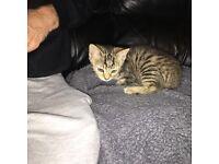 4 12 week old kittens