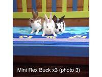Beautiful mini Rex rabbits , ready now