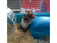 Baby hamster looking for responsible loving forever home - with cage and food