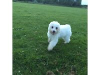7 month old Kc registered bichon fries female puppy