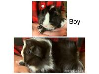 Baby boy guinea pigs ready to reserve