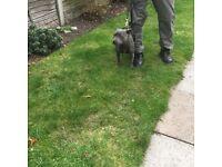 Blue Staffordshire bull terrier for sale.