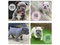 Stunning, Fluffy Carrier French Bulldogs *REDUCED*