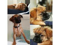 Dog / puppy pugzu (pug and shit zhu) for sale in Bradford!!