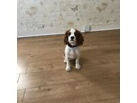 Cavalier King Charles Spaniel Puppy for Sale £780