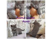 Amazing british shorthair kittens
