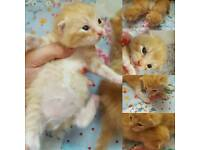 Adorable Kittens READY 2ND WEEK OF AUGUST -