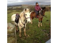 14.1hh Connemara X 6 year old mare for sale/loan