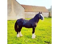 2 year old cob colt for sale