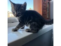 2 beautiful kittens left out of 6 x