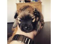 Pomeranian puppy for sale | Dogs & Puppies for Sale - Gumtree