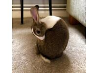 Litter trained bunny looking for a new home.