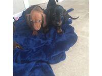 Stunning dachound puppies
