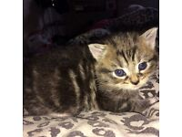 HALF BENGAL KITTENS READY FOR NEW HOMES**LAST ONE**