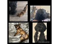 Cockapoo x chihuahua puppies- 4 remaining
