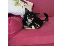 Beautiful male Chihuaha for sale