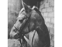 Pony - Registered Welsh Section B Chestnut Mare 13.1hh