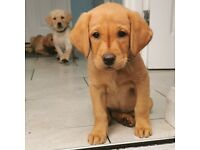 Exceptional Litter of Fox Red & Golden Labrador Puppies. KC Reg with Impeccable Pedigree Bloodlines