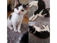 3 beautiful black and white kittens looking for forever homes