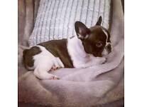 KC Registered Female French Bulldog Puppy