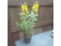Lysimachia perennial plants