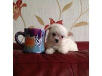 Lovely puppy Maltese X chihuahua maltichi very small dog