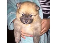 Pomeranian puppies *!Ready Now!*