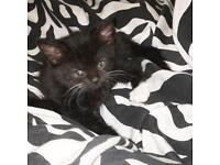10 week old male kitten