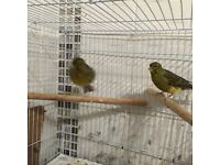Pair fifth canary