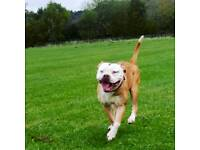 Red and white young female Olde English Bulldog