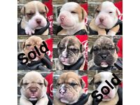 OLD TYME BULLDOGS PUPPIES FOR SALE