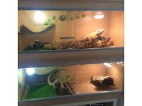 2 Male Bearded Dragons - Seperate Vivs - 2 Years Old