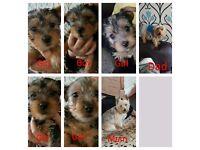 4 Yorkshire terrier pups £450
