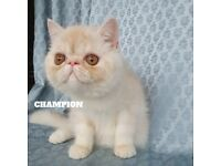 Exotic Shorthair Boy & Girls (active)