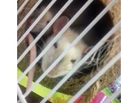 2 Gorgeous Young Female Rats, Friendly & Energetic + Cage